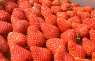 福岡のいちご/あまおうの生産・販売の梅田農園でネム払い・ネム決済